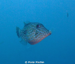 Fuji F100, Scribbled File Fish on Koh Tachai Similans, si... by Maria Machin 